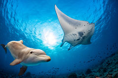Dolphin underwater meets a manta Royalty Free Stock Photo