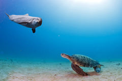 Dolphin underwater meets a turtle Stock Photos
