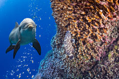 Dolphin underwater on ocean reef background Royalty Free Stock Photography