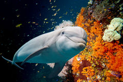 Dolphin underwater on reef background Royalty Free Stock Images