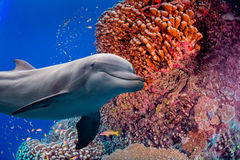 Dolphin underwater on reef background Royalty Free Stock Photography