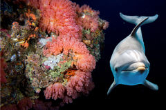Dolphin underwater on reef close up look Royalty Free Stock Image