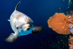 Dolphin underwater on reef close up look Stock Photos