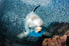 Dolphin underwater on reef close up look Royalty Free Stock Photo