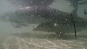 Dolphin underwater shot. A medium shot of a dolphin at underwater. Camera tracks the dolphin`s movement stock video