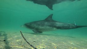 Dolphin underwater shot. A medium shot of a dolphin at underwater. Camera tracks the dolphin`s movement stock video footage