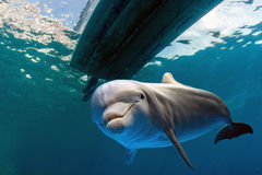 Dolphin underwater under a boat Royalty Free Stock Photo