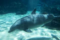 Dolphin Viewed from Under Water. One dolphin swimming in aquarium tank.  View is from underwater, level with the dolphin as it swims by the glass of the tank Stock Image