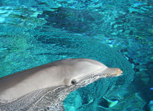 Dolphin Visit. A dolphin surfaces to visit peeking out of the water Stock Photo