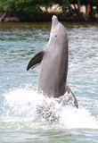 Dolphin walking on tail Stock Photography