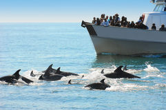 Dolphin watching Royalty Free Stock Image