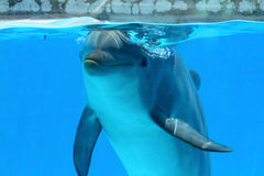 Dolphin Watching The Camera. Ocean Life - Closeup of a dolphin watching from the pool stock photo