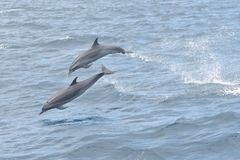 Dolphin watching. Close up of two dolphins jumping out of the water royalty free stock photo