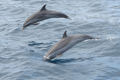 Dolphin watching. Close up of two dolphins jumping out of the water royalty free stock image