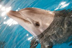 Dolphin in water Royalty Free Stock Photo