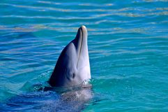 Dolphin in water. Dolphin at a show in Cancun, Mexico Stock Image