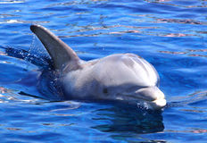 Dolphin in the water. Stock Photography