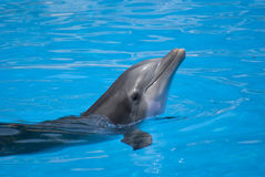 Dolphin in the water Royalty Free Stock Photos
