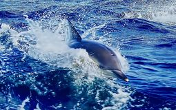 Dolphin in Water. Dolphins are a widely distributed and diverse group of aquatic mammals. They are an informal grouping within the order Cetacea, excluding royalty free stock photo