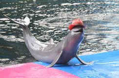 Happy Smiling Dolphin. Dolphin wearing red hat like to smile at the people who come to see the show. Pattaya Dolphin World, Chonburi, Thailand stock photos