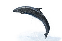 Dolphin white background royalty free stock image