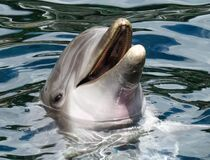 Dolphin's Head in the Surface Stock Photo
