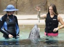 Dolphinaris访客喂养海豚一条鱼 库存图片