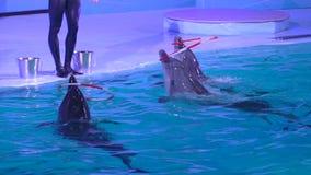 Dolphinarium, delfinu przedstawienie i występ podczas przedstawienia w woda parku, delfiny obraca obręcze na nosach w błękitne wo zbiory
