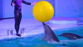 Dolphinarium, delfinu przedstawienie i występ w woda parku, Delfinu doskakiwanie z piłką podczas szkolenia w basenie wewnątrz zbiory