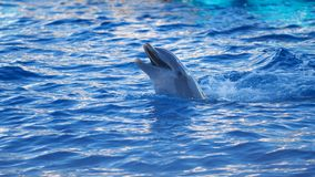Dolphinarium, Dolphin show. Funny laughing Dolphin. Dolphinarium, Dolphin show.Funny laughing Dolphin leaned out of the water royalty free stock photography