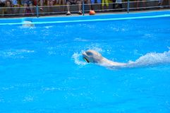 Dolphinarium Nemo - this is a place of positive! If life has brought to Odessa, then at least once the dolphinarium is simply need. Clean water of the Black Sea Royalty Free Stock Photos