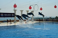 Dolphinarium in Turkey. Flying dolphins. Travel to Turkey. Dolphinarium Sealaniya, not far from the city of Alanya, on the run of the Mediterranean Sea. Dolphins stock photos
