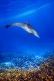Dolphind και κοράλλια Στοκ Εικόνα