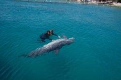 dolphine που παίζεται στη Ερυθρά Θάλασσα, Eilat Ισραήλ στοκ εικόνες με δικαίωμα ελεύθερης χρήσης