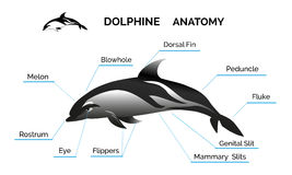 Dolphine Anatomy Royalty Free Stock Images