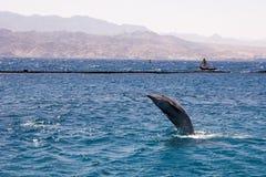 dolphine gespielt im Roten Meer, Elat Israel stockbilder