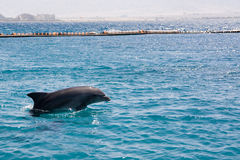 Dolphine played in Red sea, Eilat Israel Royalty Free Stock Image
