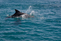 Dolphine played in Red sea, Eilat Israel Royalty Free Stock Images