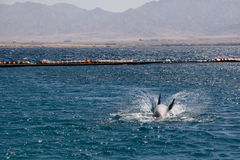 Dolphine played in Red sea, Eilat Israel Stock Images