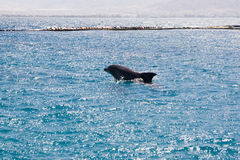 Dolphine played in Red sea, Eilat Israel Stock Photo