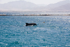 Dolphine played in Red sea, Eilat Israel Royalty Free Stock Photo