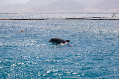Dolphine played in Red sea, Eilat Israel Stock Photos
