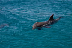 Dolphine played in Red sea, Eilat Israel Stock Image