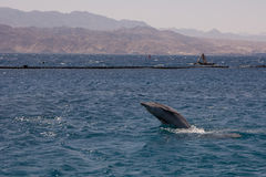 Dolphine played in Red sea, Eilat Israel Stock Photography