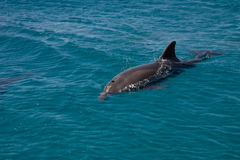 Dolphine played in Red sea, Eilat Israel Royalty Free Stock Photography