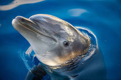 Dolphing smiling close up portrait Stock Photos