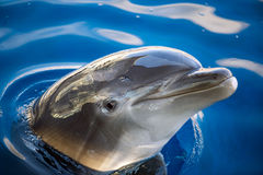 Dolphing smiling eye close up portrait Royalty Free Stock Photography
