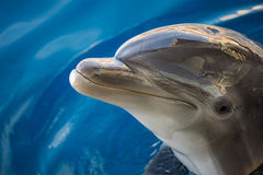 Dolphing smiling eye close up portrait Stock Image