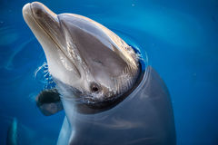 Dolphing smiling eye close up portrait Royalty Free Stock Image