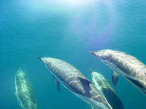 Dolphins,. Two pair of dolphins in their natural surroundings stock photography
